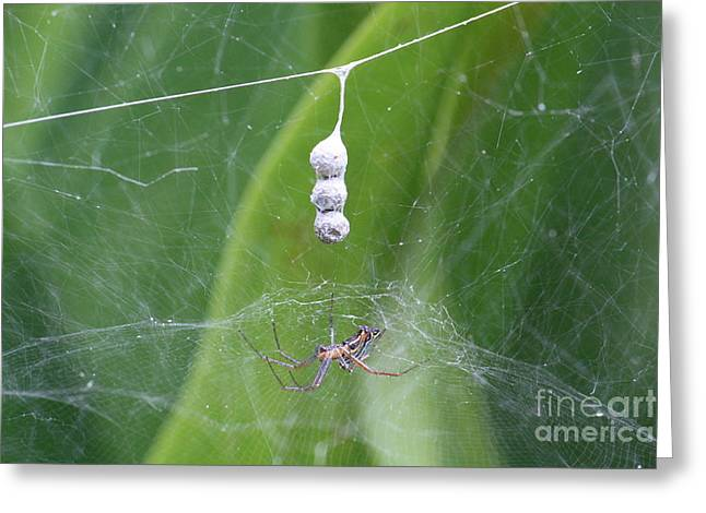 Cocoon Greeting Cards - Spider and Cocoon Greeting Card by Danielle Groenen