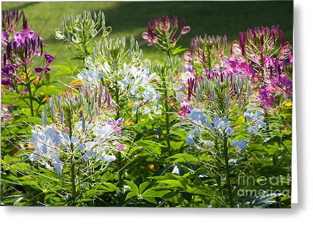 Flower Bed Greeting Cards - Spider Flower Greeting Card by Atiketta Sangasaeng