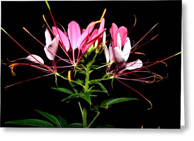 Spider Flower  Greeting Card by Kim Galluzzo Wozniak