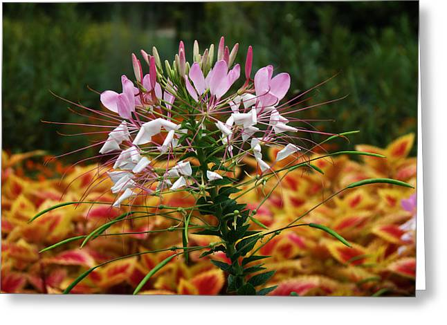 Spider Flower Greeting Cards - Spider Flower Greeting Card by Vijay Sharon Govender