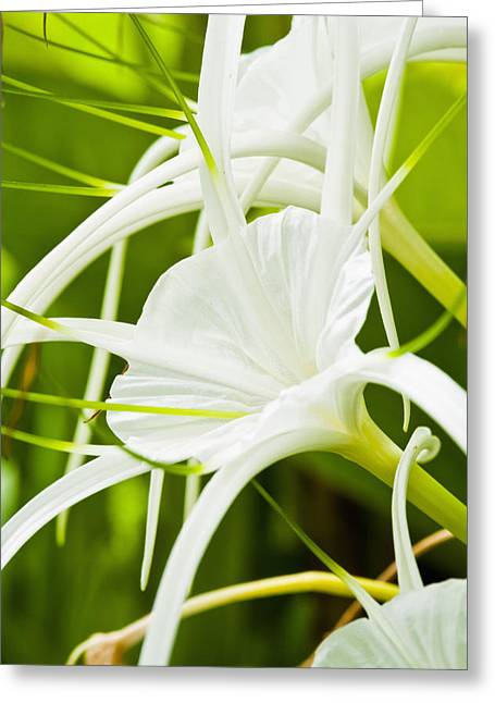 Unique View Greeting Cards - Spider Lilies Greeting Card by Bill Brennan - Printscapes