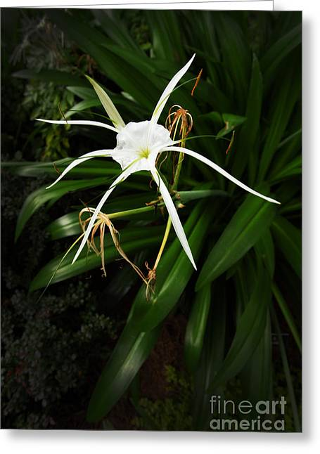 Flowers Stretched Prints Greeting Cards - Spider Lily At Dawn Greeting Card by M K  Miller