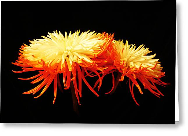 Spider Mums Greeting Card by Yvonne Scott