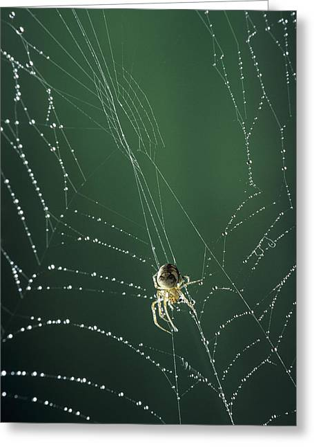Dew Covered Greeting Cards - Spider Spinning Its Web Greeting Card by David Aubrey