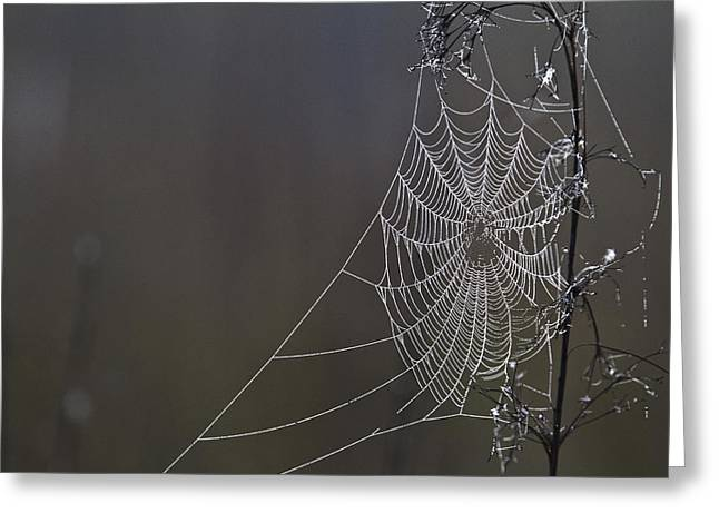 Spiderwebs Greeting Cards - Spider Web Covered In Dew Drops Greeting Card by Robert Postma