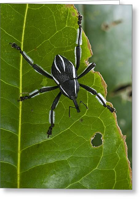 New Britain Greeting Cards - Spider Weevil Papua New Guinea Greeting Card by Piotr Naskrecki