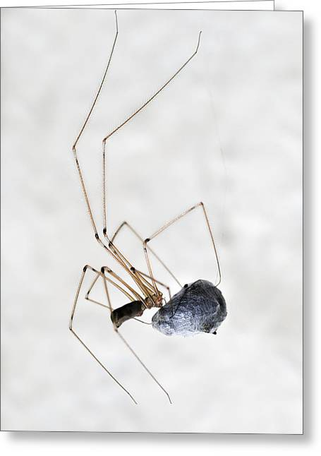 Arachnida Greeting Cards - Spider wrapping fly Greeting Card by Matthias Hauser