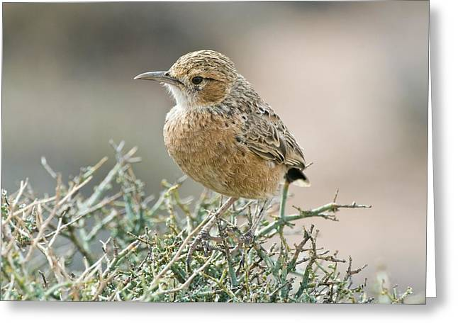 Northern Africa Greeting Cards - Spike-heeled Lark Greeting Card by Peter Chadwick