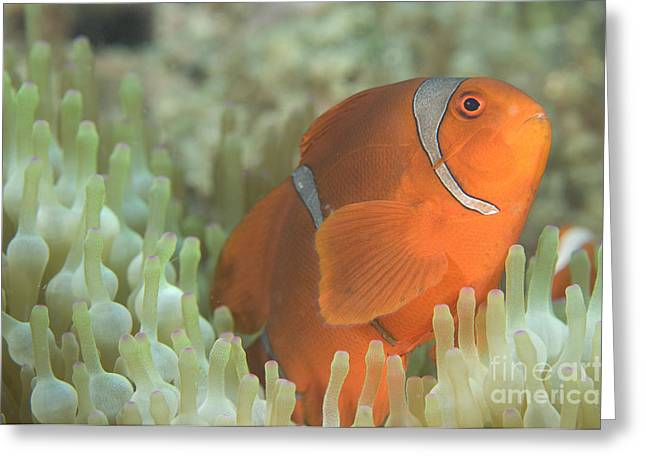 New Britain Greeting Cards - Spinecheek Anemonefish In Anemone Greeting Card by Steve Jones
