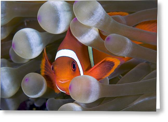 Hiding Greeting Cards - Spinecheek Anemonefish Greeting Card by Matthew Oldfield