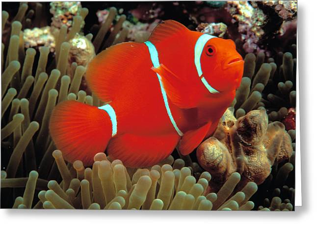 Anemonefish Greeting Cards - Spinecheek Clownfish Greeting Card by Dave Fleetham - Printscapes