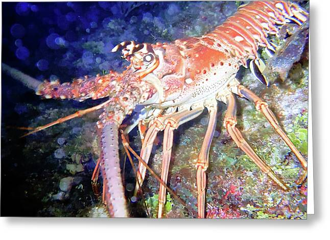 Spiney Lobster Greeting Card by Barry Jones