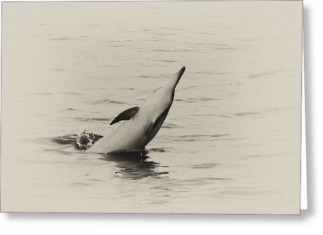 Spinner Dolphin Greeting Cards - Spinner Dolphin Greeting Card by Michael Peychich