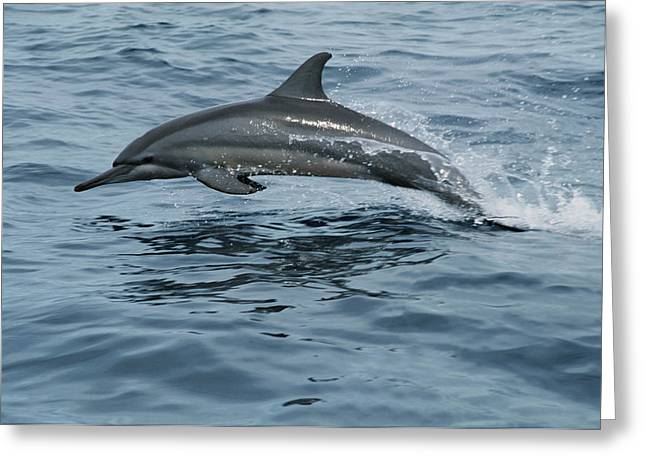 Spinner Dolphin Greeting Cards - Spinner Dolphin Stenella Longirostris Greeting Card by Mike Parry