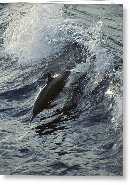 Surfing And Dolphins Greeting Cards - Spinner Dolphin Stenella Longirostris Greeting Card by Tui De Roy