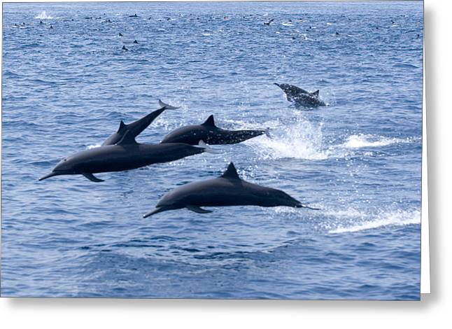 Slick Rick Greeting Cards - Spinner Dolphins Greeting Card by Rick Gaffney - Printscapes