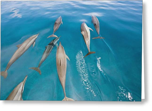 Spinner Dolphin Greeting Cards - Spinner Dolphins Swimming Greeting Card by Alexis Rosenfeld