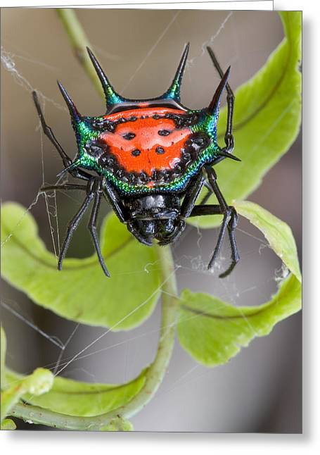 Up-armored Greeting Cards - Spinybacked Orbweaver Spider Solomon Greeting Card by Piotr Naskrecki