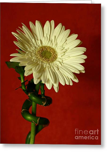 Spiral Of Life   Gerber Daisy Greeting Card by Inspired Nature Photography Fine Art Photography