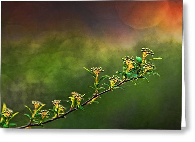 Spirea Greeting Cards - Spirea Sunset Greeting Card by Brenda Bryant