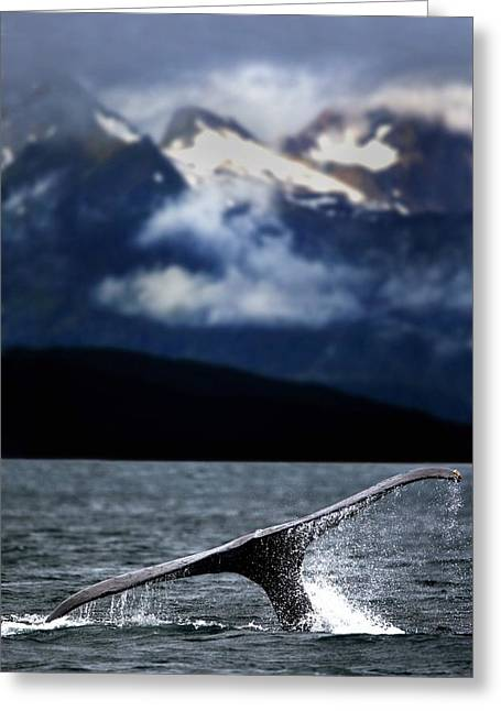 Splash From Tail Of Humpback Whale Greeting Card by Richard Wear
