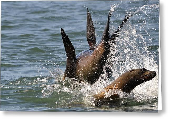 Sea Lions Greeting Cards - Splashdown Greeting Card by Fraida Gutovich