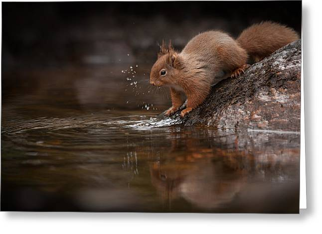 Red Squirrel Greeting Cards - Splashing Red Squirrel Greeting Card by Andy Astbury