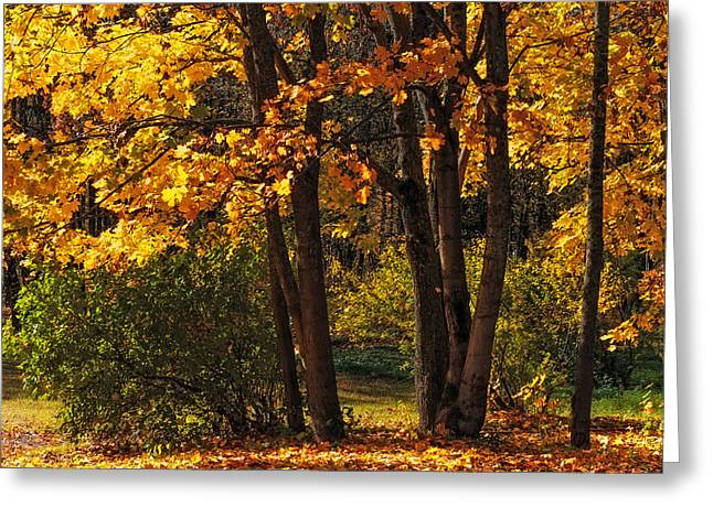 Splendor Of Autumn. Maples In Golden Dresses Greeting Card by Jenny Rainbow