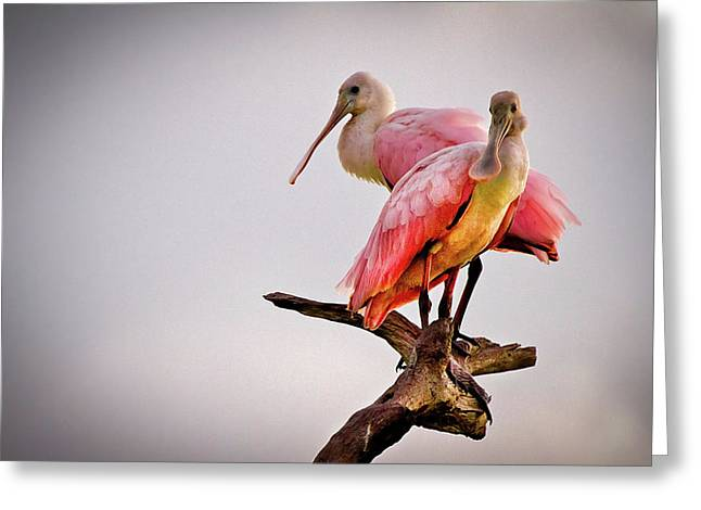 Broward Greeting Cards - Spoonbills Greeting Card by Debra and Dave Vanderlaan