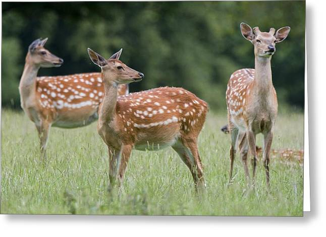 Animal Behaviour Greeting Cards - Spotted Deer, Harrogate, Yorkshire Greeting Card by John Short