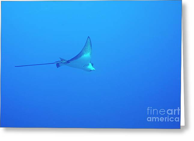 Spotted Eagle Ray Greeting Card by Sami Sarkis