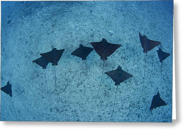 Unique View Greeting Cards - Spotted Eagle Rays Greeting Card by Dave Fleetham - Printscapes