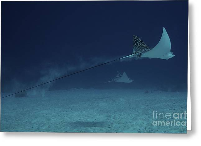 Undersea Photography Greeting Cards - Spotted Eagle Rays Glide Effortlessly Greeting Card by Terry Moore