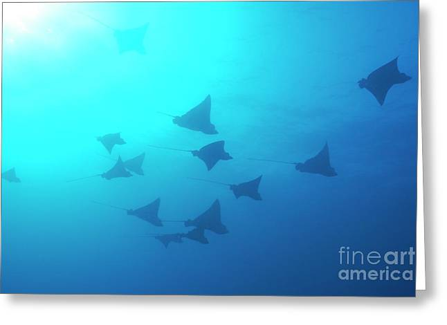 Sami Sarkis Greeting Cards - Spotted Eagle rays Greeting Card by Sami Sarkis