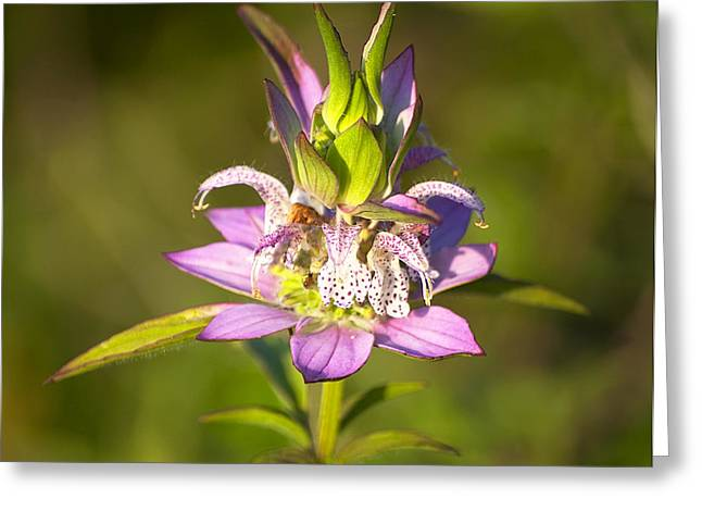 Horsemint Greeting Cards - Spotted Horsemint Greeting Card by Kenneth Albin