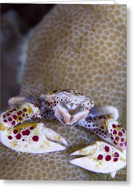 Plankton Greeting Cards - Spotted Porcelain Crab Feeding Greeting Card by Steve Jones