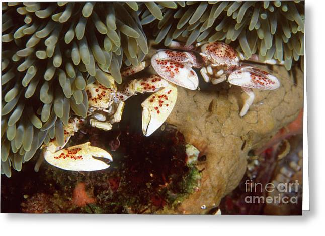 Recently Sold -  - Undersea Photography Greeting Cards - Spotted Porcelain Crabs In Anemone Greeting Card by Beverly Factor
