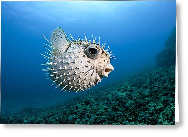 Porcupine Puffer Greeting Cards - Spotted Porcupinefish Greeting Card by Dave Fleetham