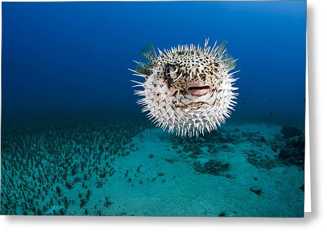 Green Spotted Puffer Fish Greeting Cards - Spotted Porcupinefish II Greeting Card by Dave Fleetham