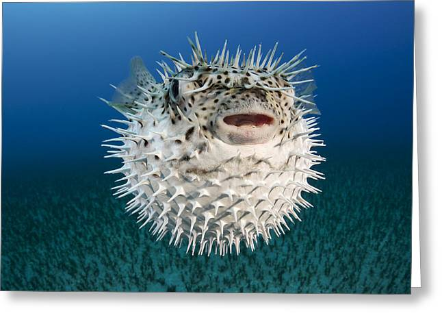 Green Spotted Puffer Fish Greeting Cards - Spotted Porcupinefish III Greeting Card by Dave Fleetham