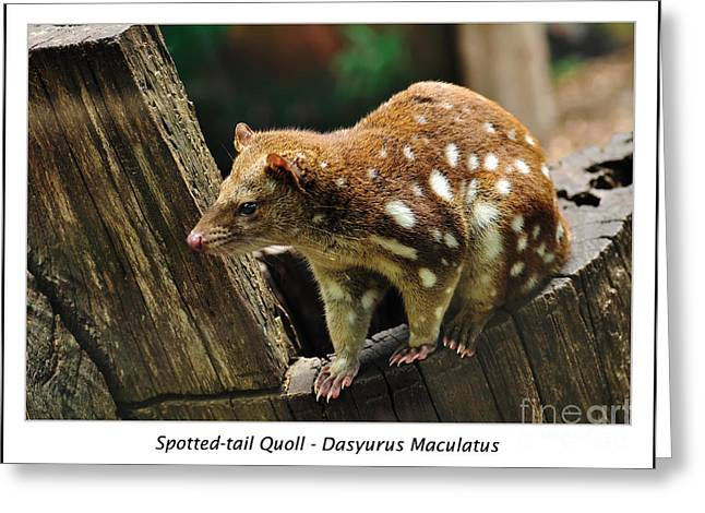 Pink Nose Greeting Cards - Spotted-tail Quoll 2 Greeting Card by Kaye Menner