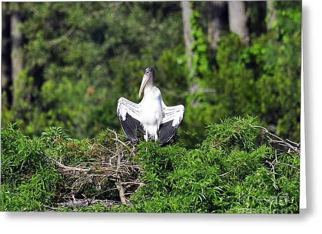 Al Powell Photography Usa Greeting Cards - Spread Stork Greeting Card by Al Powell Photography USA