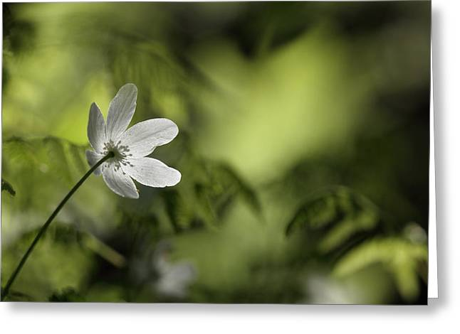 Spring anemone Greeting Card by Intensivelight