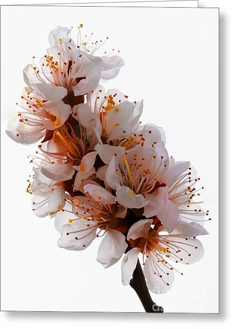 Prunus Persica Greeting Cards - Spring Blooms Greeting Card by Robert Bales