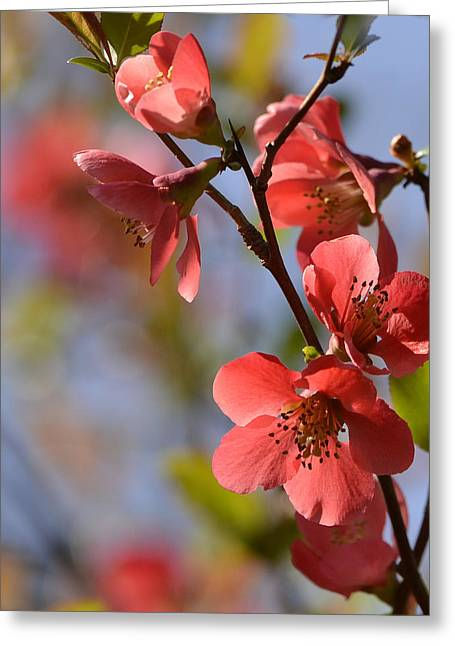 Floral Photographs Digital Greeting Cards - Spring Blosom Greeting Card by Ann Bridges