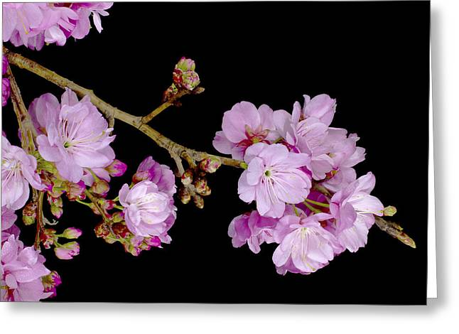 Spring Cherry Blossoms 2 Greeting Card by Barnaby Chambers