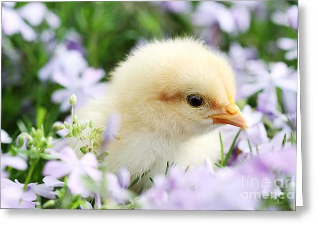 Chick Photographs Greeting Cards - Spring Chick Greeting Card by Stephanie Frey