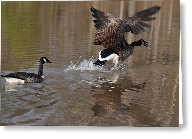 Goose Greeting Cards - Spring Dance Attacking Drake  - c0214a Greeting Card by Paul Lyndon Phillips