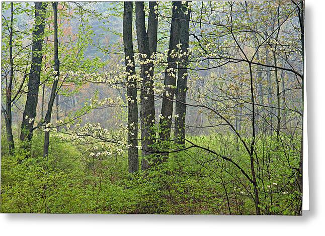 Dogwood Greeting Cards - Spring Dogwood in Bloom Greeting Card by Dean Pennala