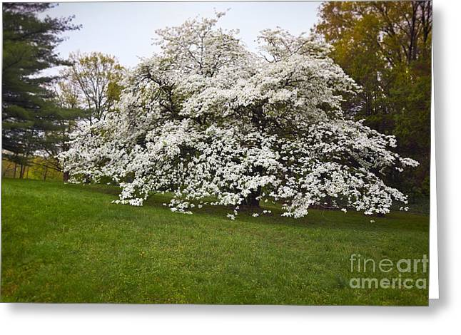 Bracts Greeting Cards - Spring Dogwood Greeting Card by Susan Isakson